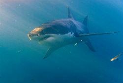 В Новой Зеландии акула загрызла туриста